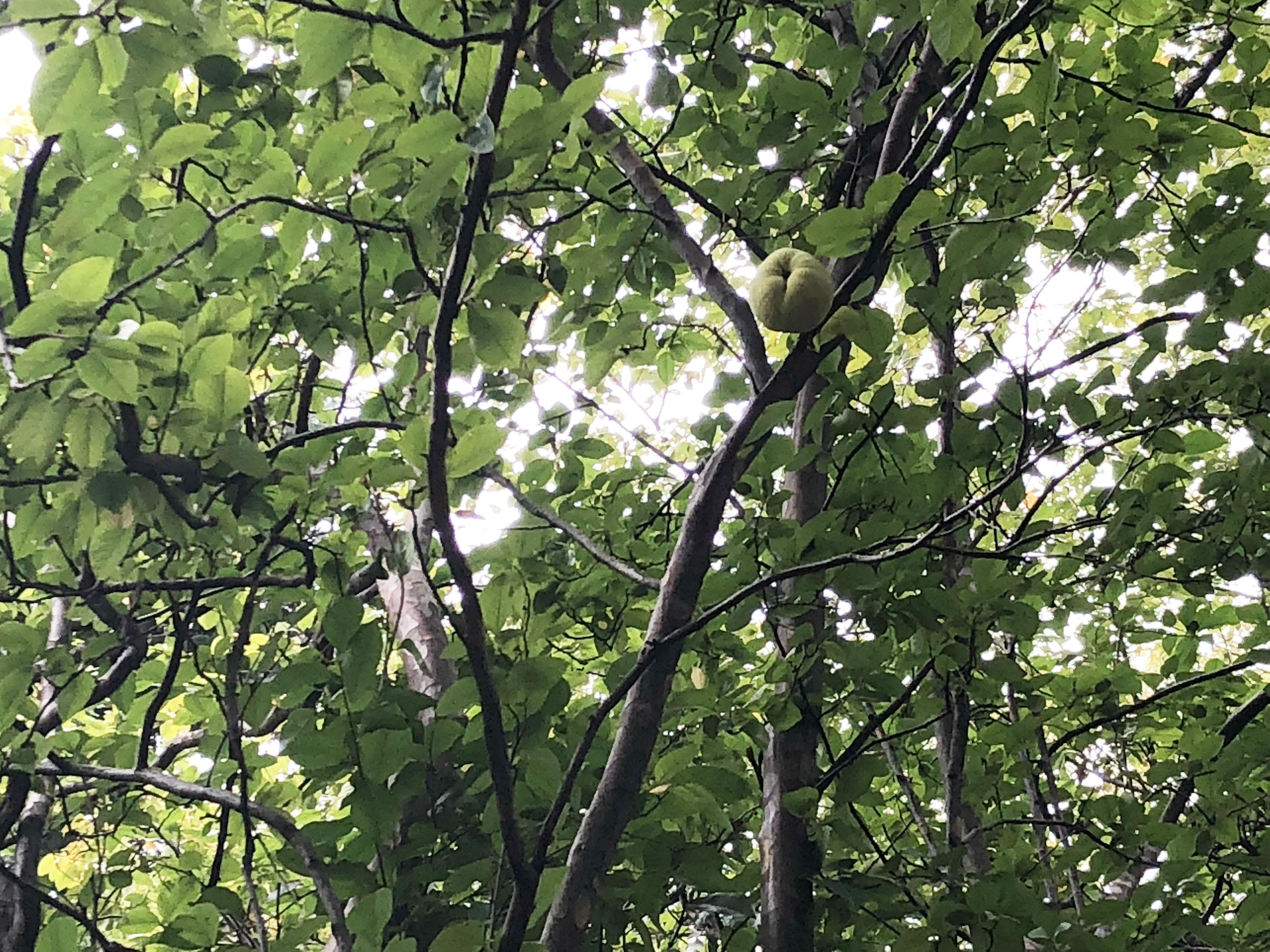 東京国立博物館 カリンの木