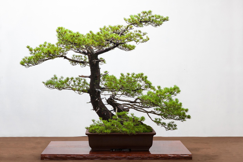 箱根強羅公園で「石原和幸 風景盆栽展」を開催