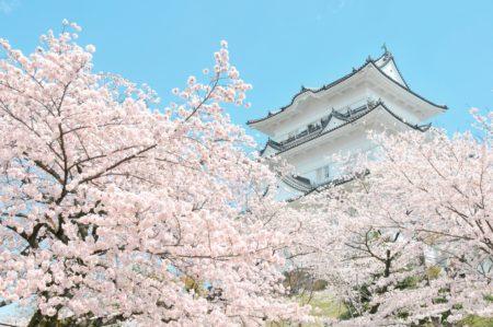 桜スポット_小田原城址公園
